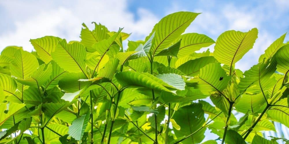 7 Mood Enhancing Kratom Strains